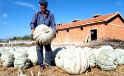 Bal kabağında  hasat iyi,  fiyat kötü