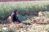 Afyon'da sebze hasadı devam ediyor